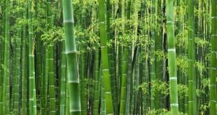 نگهداری از بامبو