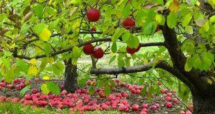 دل پیچه را با سیب درمان کنید