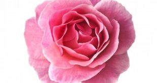 گل محمدی گلاب