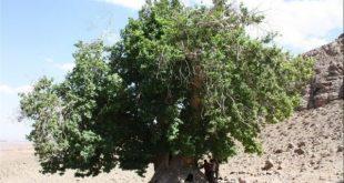 ثبت ملی درخت چنار کهنسال مشگین شهر